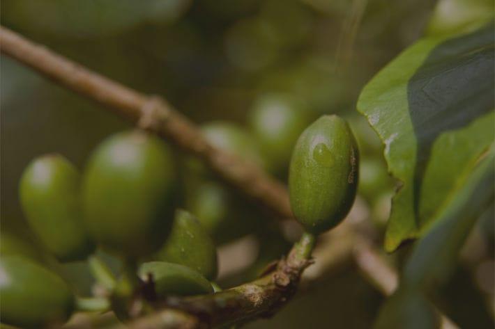Grüne Kaffeekirschen am Kaffeestrauch